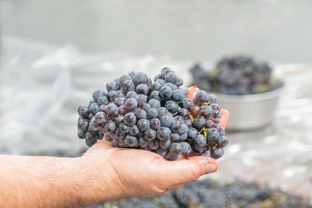 処理前のワインメーカーの手にあるピノワールのブドウ