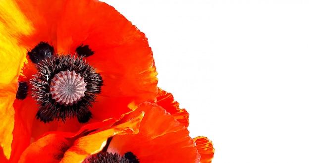 白い背景で隔離赤いケシの花