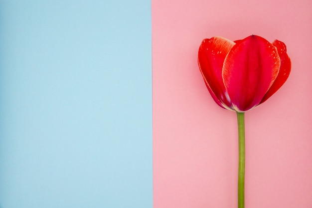 Красный тюльпан на розовом и синем фоне крупным планом