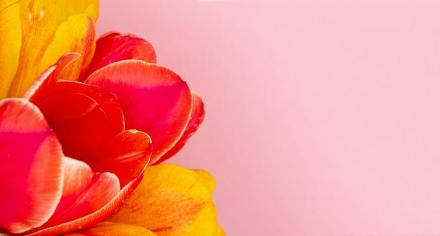 Красный тюльпан на розовом фоне