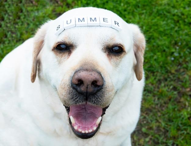 Лабрадор ретривер со словами лето в деревенском стиле букв на голове на фоне травы