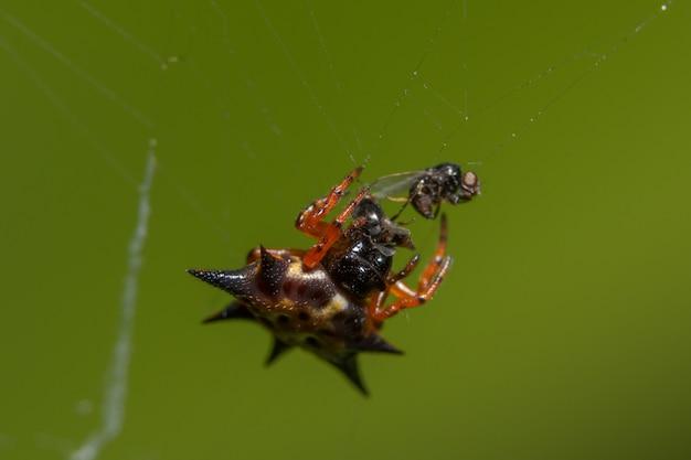 Макро-паук оранжевый