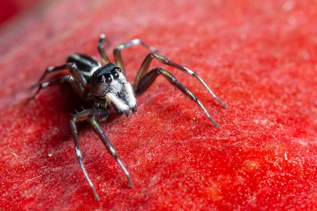 Макро паук на красном фоне