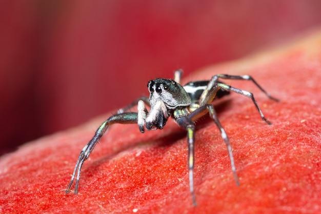 赤い背景にマクロのクモ