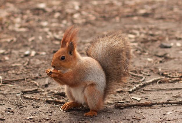 ヘーゼルナッツをかじります赤リスのクローズアップ。公園で散歩する。かわいいリス