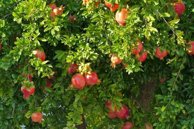 Спелые гранаты на дереве на пелопоннесе