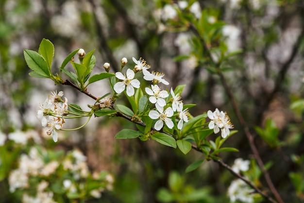 ツリーセラサスのクローズアップの美しい花。