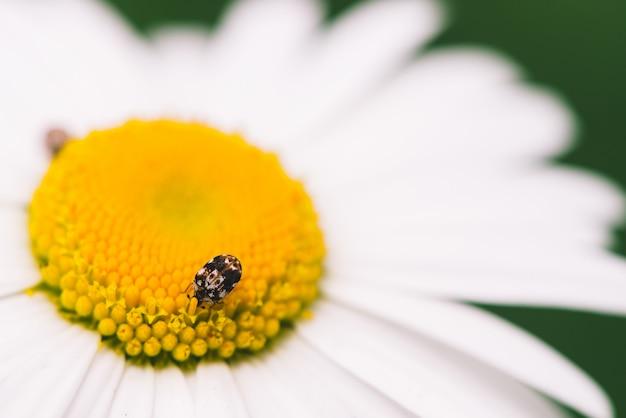 Маленький пыльник ползет по большой ромашке в макросе