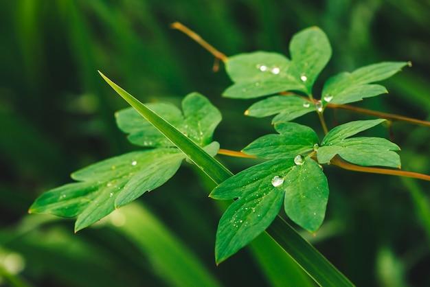 露滴のあるディセントラの美しい鮮やかな緑の葉。