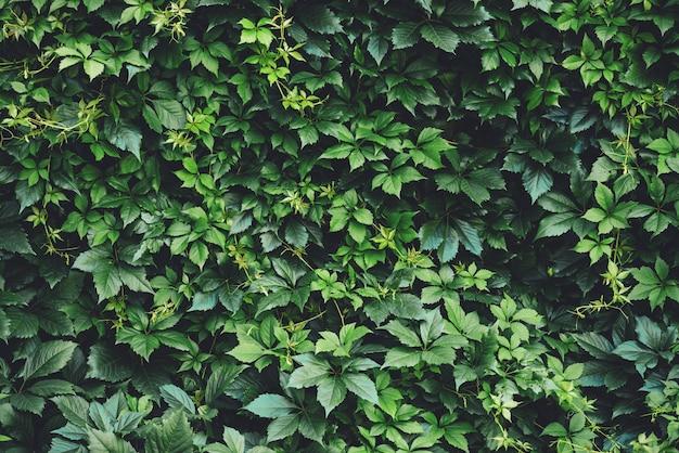 春に大きな緑の葉の生垣。