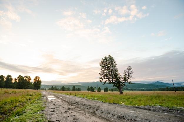 泥だらけの未舗装道路の近くの丘の上の古い巨大な杉。