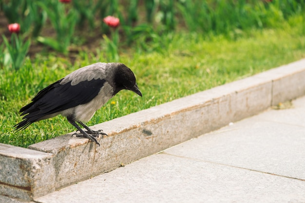 Черная ворона гуляет по границе возле серого тротуара