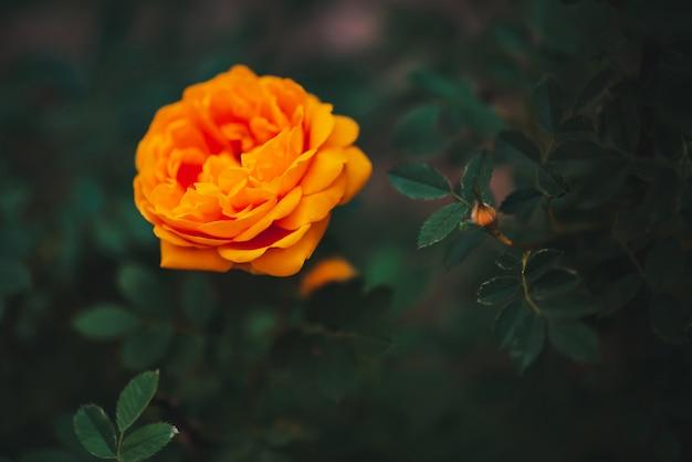 Оранжевая садовая роза на зеленом