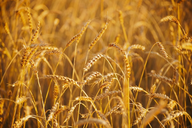日光の金小麦のフィールド
