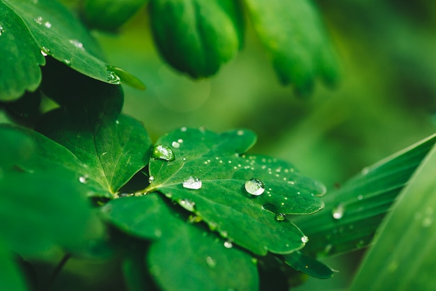 Красивые яркие зеленые листья аквилегии с каплями росы крупным планом с копией пространства. чистая, приятная, приятная зелень с каплями дождя на солнце. фон из зеленых текстурированных растений в дождливую погоду. трава