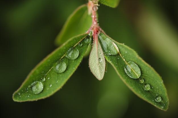 Капли дождя на листьях зеленого жимолости в саду.