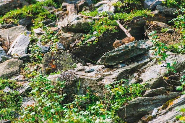 高地の豊かな植物に囲まれた崖の上のピカげっ歯類。岩の上の小さな好奇心が強い動物。緑の小さなふわふわかわいい哺乳類。