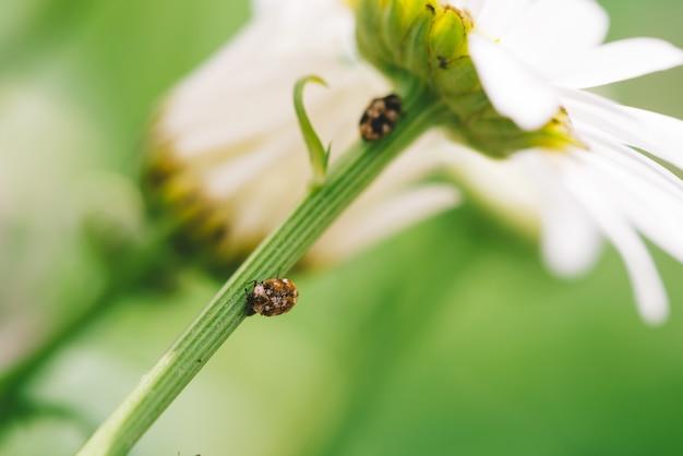 Маленький пыльник ползет на стебле ромашки в макро