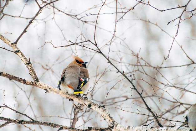 美しいワックスウィングはブランチツリーに座っています。カラフルな渡り鳥の鳴き鳥が空で歌います。