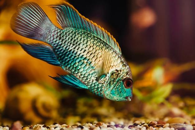 ナンナカラ。青魚は家の水槽のクローズアップに浮かんでいます。