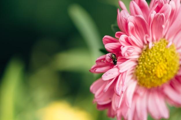 ハエはアスターのクローズアップのピンクの花に沿って這います。