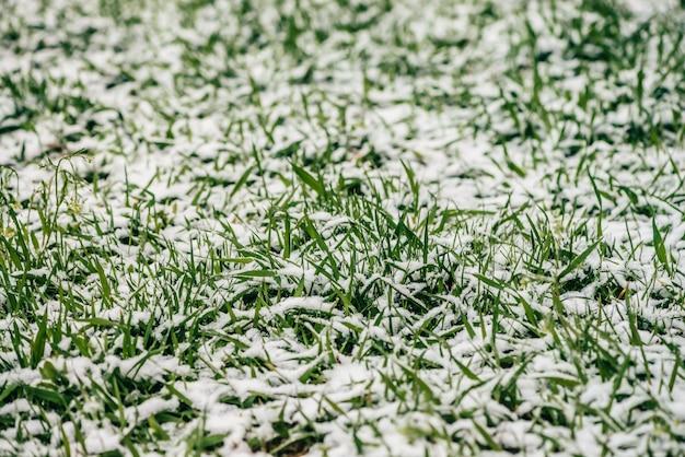 白い雪で覆われた芝生の上の緑の草。植物上の氷の結晶。春の予期しない雪。春の異常。天気現象。