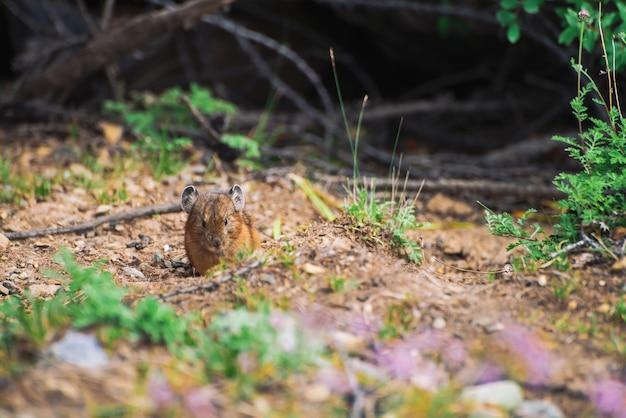 高地の地面にピカげっ歯類。カラフルな丘の上の小さな好奇心が強い動物。植物の近くの山の絵のような地形でふわふわかわいい哺乳類。大きな耳を持つ小さなマウス。少し軽快なナキウサギ。