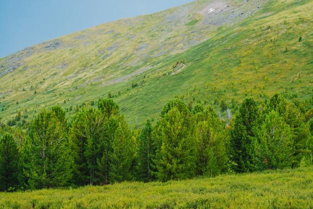 巨大な緑の山腹の背景に針葉樹林の端。山の急斜面の前の針葉樹。高地の古い杉。風光明媚な山岳風景。絵のような風景。山の風景。