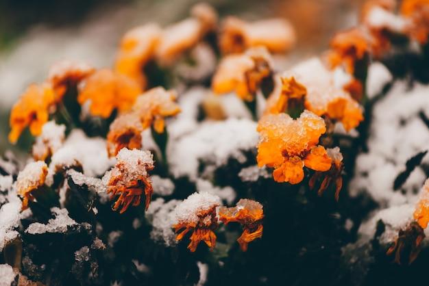 Красивые ноготки в снегу в межсезонье.