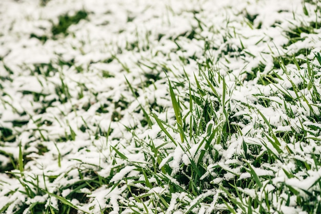 白い雪で覆われた芝生の上の緑の草。