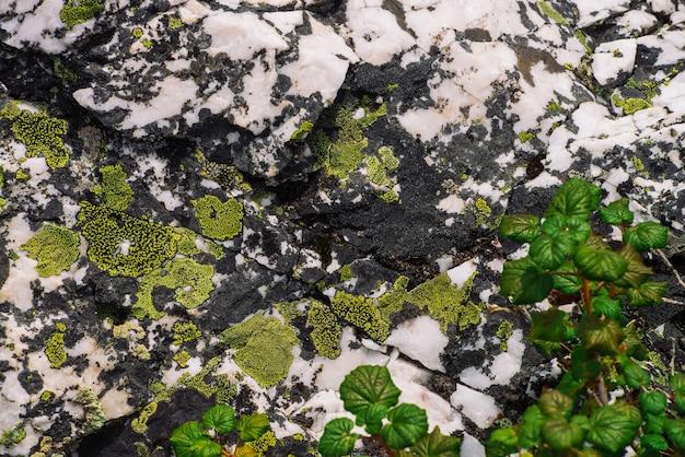Яркие зеленые листья на фоне мшистого валуна. детальная текстура поверхности камня горы с мхами и лишайниками закрывает вверх.