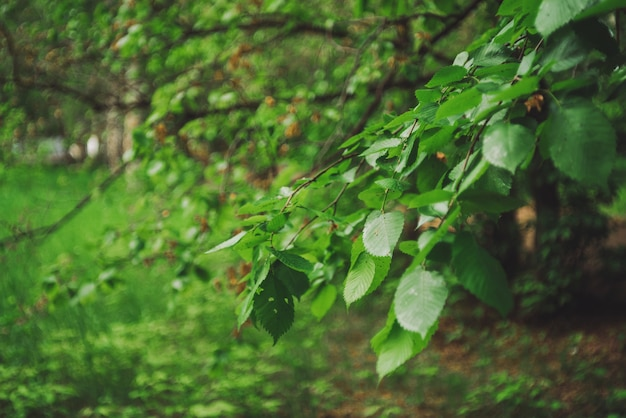 背景のボケ味の木の鮮やかな葉。コピースペースで日光の下で豊かな緑。