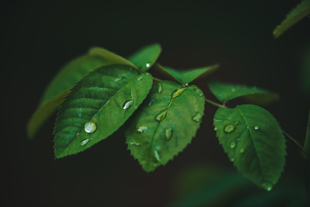 露を帯びた濃い緑の葉がコピースペースでクローズアップ。