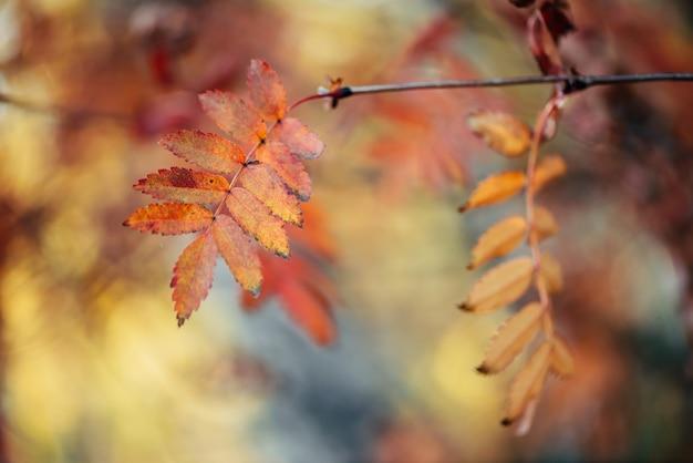 日の出の背景のボケ味の秋の森の野生のナナカマドの枝。日没のクローズアップでオレンジ色の赤の葉。日光の下でカラフルな豊かな植物と秋の森の背景。バックライトで秋のナナカマドの葉