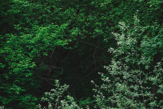 暗い森の緑豊かな茂みの自然な緑の背景。コピースペースを持つ神秘的な木の妖艶な枝の背後にある暗闇。神秘的な緑の不気味な森林の背景。緊張の森のクローズアップ
