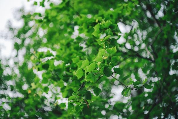 日光の下で木の鮮やかな葉のボケ味。自然な緑の背景。コピースペースでぼやけた豊かな緑。晴れた日に多重の緑豊かな葉の抽象的なテクスチャ。風光明媚な自然の背景をぼかし。