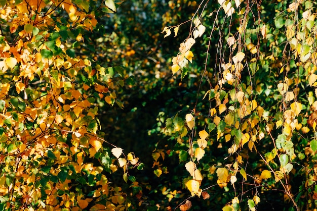 Осенние листья березы крупным планом. падение естественный фон желтой оранжево-зеленой листвы. живописная природа на фоне березы. многоцветное осеннее лиственное дерево. красочная пестрая листва в солнечном свете.