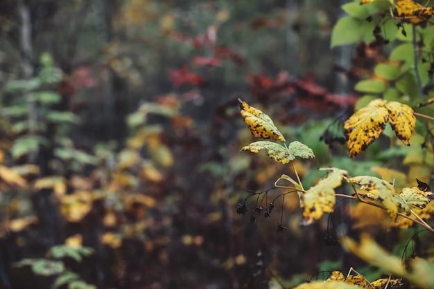 背景のボケ味のオレンジ黄色紅葉。暗い森の風光明媚な秋の豊かな植物。森のクローズアップでカラフルな葉。森林の自然な背景。美しい秋の自然。斑入りの葉。