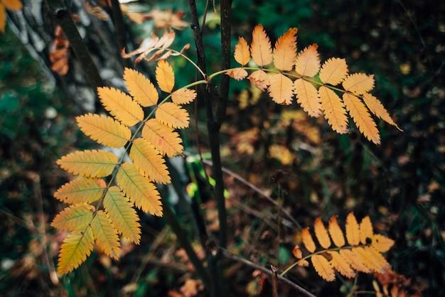 Ветвь одичалой рябины около березы в лесе осени на предпосылке богатой флоры. осень оранжевые листья крупным планом. осенний лес фон с красочной растительностью. листья рябины осенью желтые в лесу.