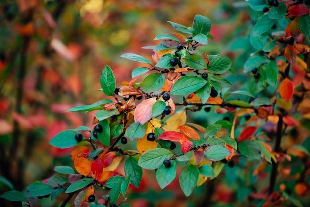 秋のボケ背景にコトネアスターの枝の果実。秋のクマの果実の低木はクローズアップを残します。緑赤黄色オレンジ色の多色の葉を秋します。カラフルな豊かな植物と秋の背景。