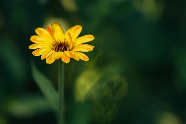 ぼやけた緑のマリーゴールドの花