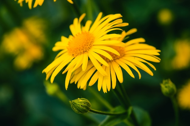 美しいアルニカは、クローズアップで接触して成長します。コピースペースと緑のオレンジ色のセンターと明るい黄色の新鮮な花。薬用植物。