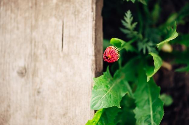 木の板にピンクのコアプシスの芽。