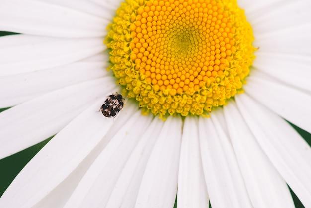Малый пыльник ползет по большой маргаритки в макросе.