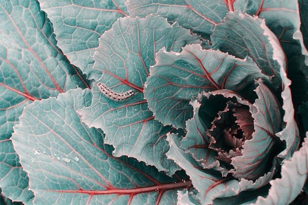 赤の静脈と青とターコイズブルーのトレンディな色調のキャベツをクローズアップ。キャタピラーは、コピースペースとキャベツの葉のクロールします。マクロの昆虫。