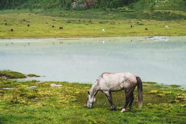 マウンテンバレーの川の近くの牧草地で灰色の馬をかすめます。山の湖の近くの草原の白い馬。反対の川岸の群れ。湖の岸に多くの馬。馬と美しい風景。