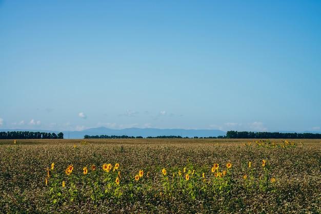青空の下で空のフィールドで収穫されたヒマワリと美しい風光明媚な風景。いくつかのヒマワリは木と地平線上の空のフィールドの間に成長します。太陽の花のプランテーション。収穫時期。
