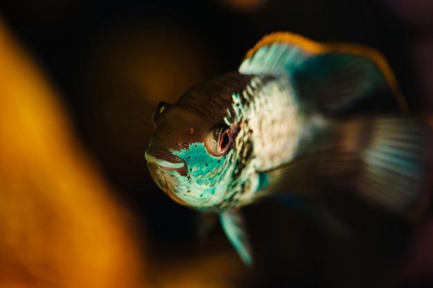 Наннакар. голубая рыба плавает в аквариуме дома крупным планом.