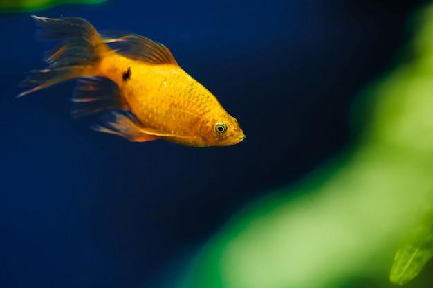Барбус плавает в аквариуме дома крупным планом. красивый аквариум с золотыми рыбками.