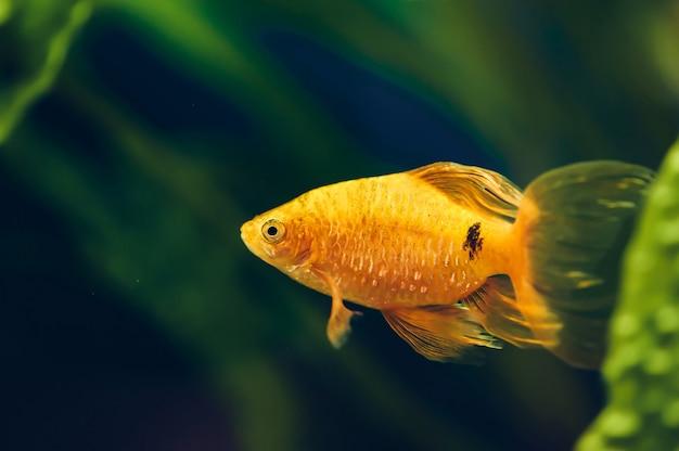 Аквариумные рыбы барбус крупным планом